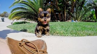 Lanai The Adorable Akc Yorkshire Terrier Female Puppy For Adoption Near Escondido, Ca.