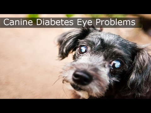 Canine Diabetes Eye Problems - MUST SEE Canine Diabetes Video