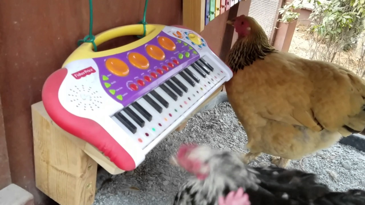 Chickens Play in Band