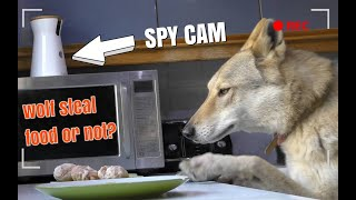 DOG SPY CAM - WILL MY WOLFDOG STEAL FOOD?