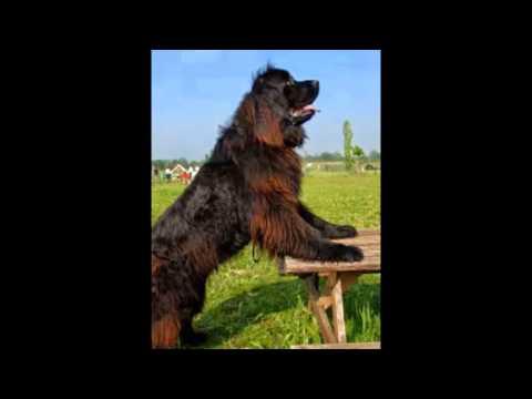 Вопрос: Почему у собаки Ирландский волкодав такое название?