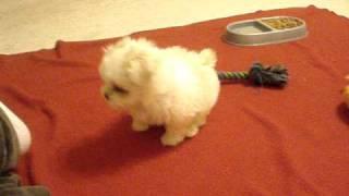 My Half Maltese Half Shih Tzu Puppy (8 Weeks)