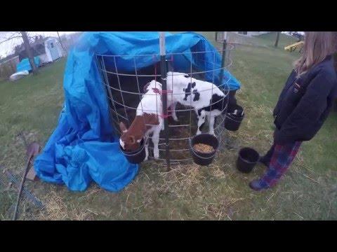 Inexpensive way to start raising calves for beef.  Prevent Pneumonia!!