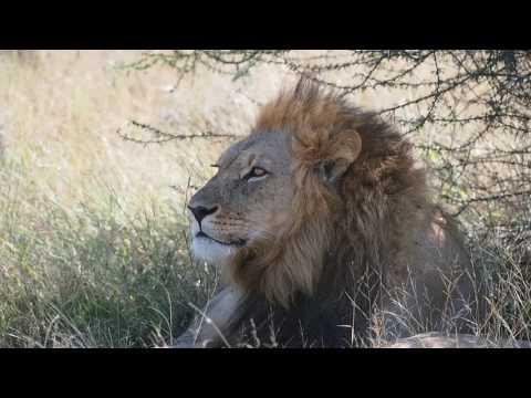 P5169068   Kalahari leeuw, CKGR