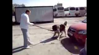 злая собака на парковке