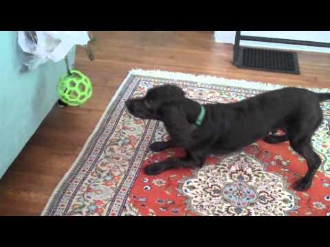 Otis The Boykin Spaniel vs The Dry Cleaning