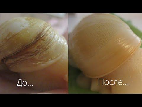Микоз у улитки ахатина. Лечение.