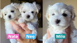 Cute Maltese Puppies | Maltese Puppies Litter of 06/14/2021 | Cute And Funny Dog Video