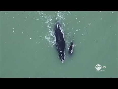 Em Florianópolis, encontro internacional discute a liberação da caça artesanal de baleias