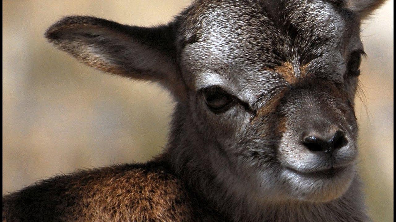 Just born beautiful baby Mouflon lamb YouTube
