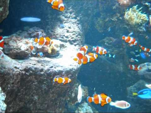 Large clown fish aquarium youtube for Large aquarium fish