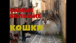 Самые большие кошки в мире (Топ 4)