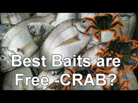 How to Rig a Live Crab for Porgy and Other Bottom Fishing