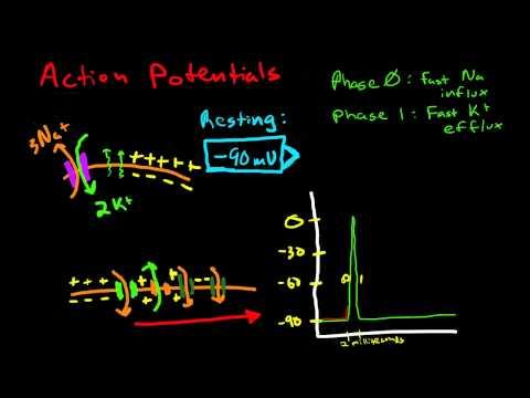 Cardiac Conduction & Cardiac Action Potentials