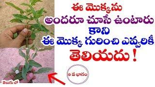 Eclipta alba | Bhringaraja | Guntagalagara aaku Uses in telugu | Telugu World Visite