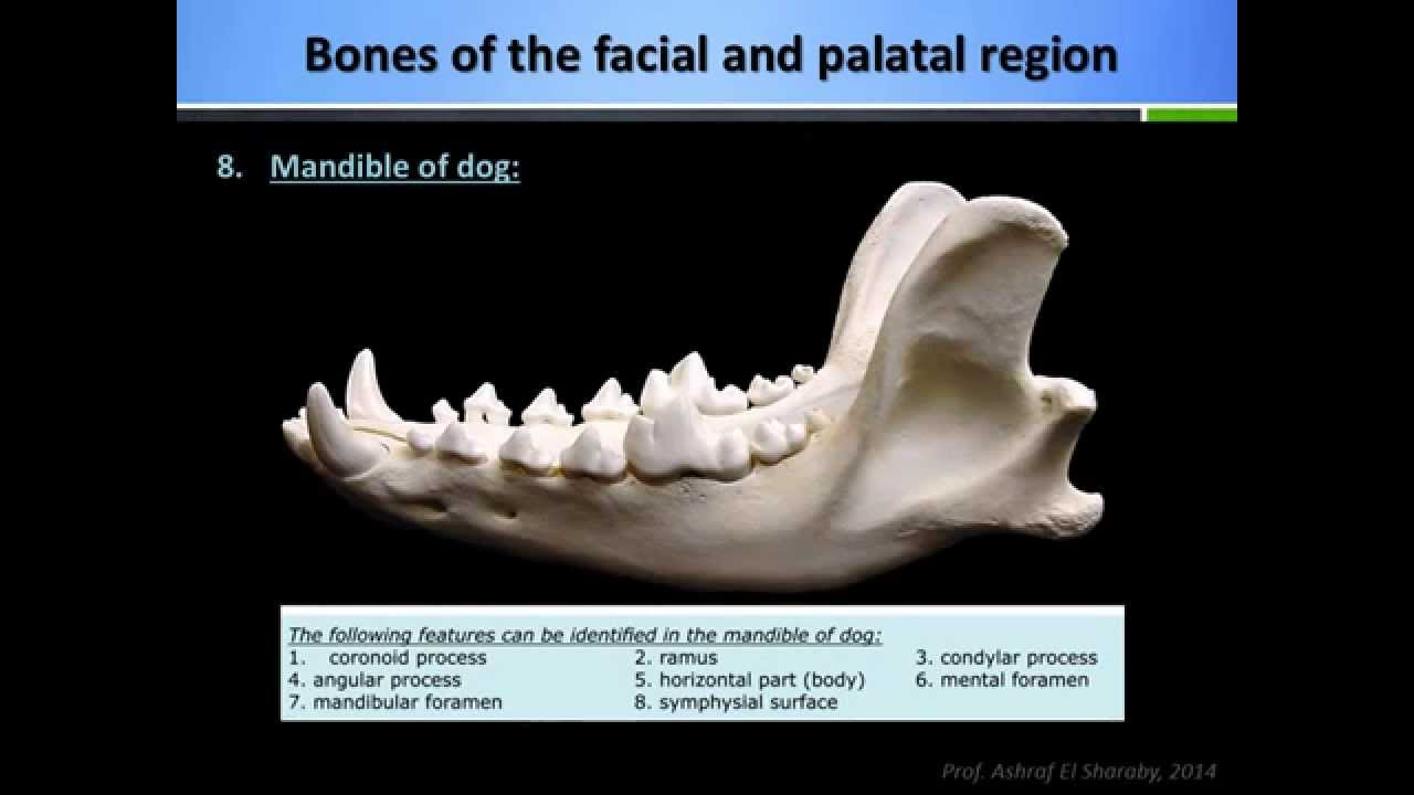 Anatomy of the skull of the domestic animals: Part 2 - YouTube
