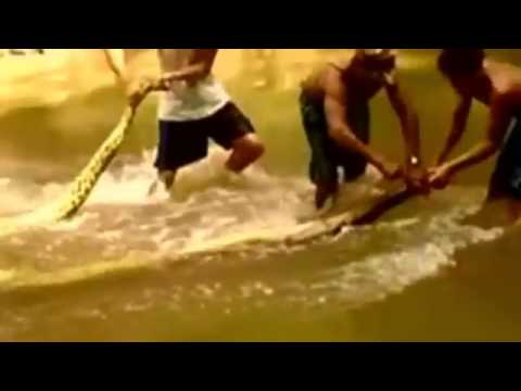 ฮือฮา ชาวบ้านเปรูจับงูยักษ์ อนาคอนด้า ตัวยาว 16 ฟุต ในป่าอะเมซอน