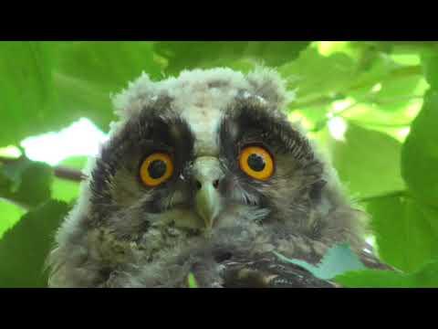 Ушастая сова в рязанском парке