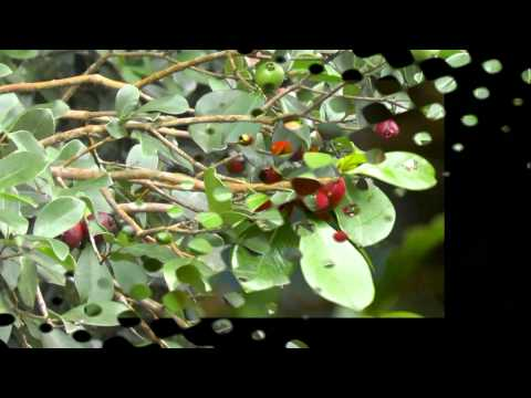 Wild edibles plants in Hawaii, part 1