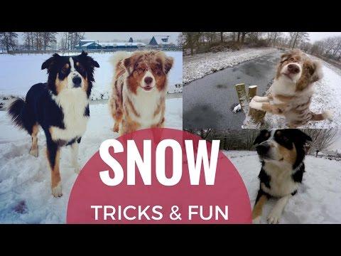 SNOW! | Tricks & Fun | Australian Shepherds