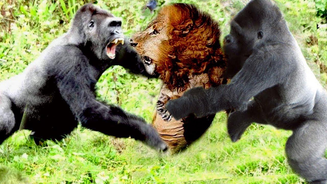 Động vào gia đình gorilla và cái kết của sư tử kiêu ngạo...