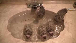Video Bath time for 9 week old African pygmy hedgehogs! download MP3, 3GP, MP4, WEBM, AVI, FLV Juni 2018