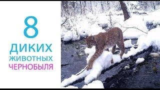 8 видов диких животных заселивших Чернобыль после катастрофы(Чернобыль - зона отчуждения, где замечена большая популяция диких животных. В Украине действует проект,..., 2015-10-18T12:38:14.000Z)