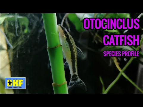 Otocinclus Catfish Species Profile.