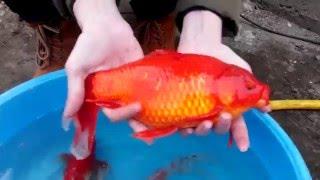 Big gold fish гигантская золотая рыбка
