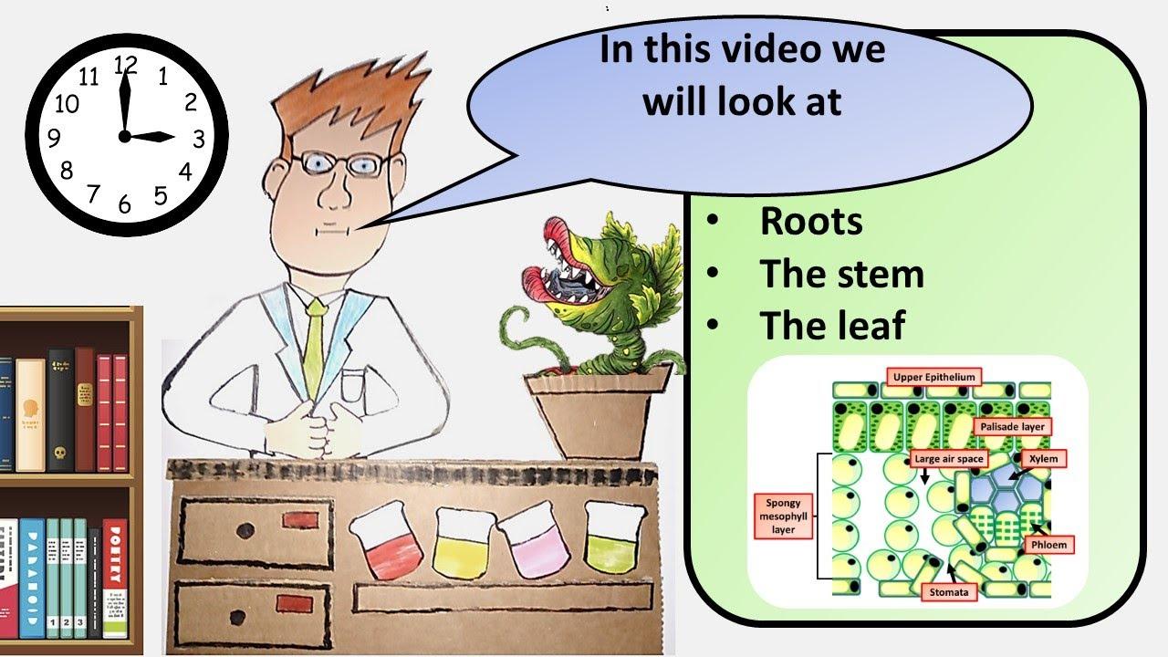 GCSE Biology Plant Organs Revision - YouTube