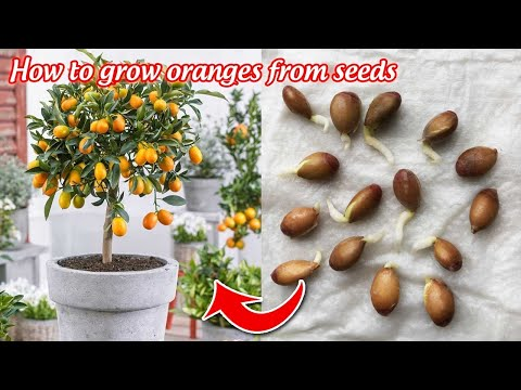 How to grow oranges from seeds germinate after 5 days