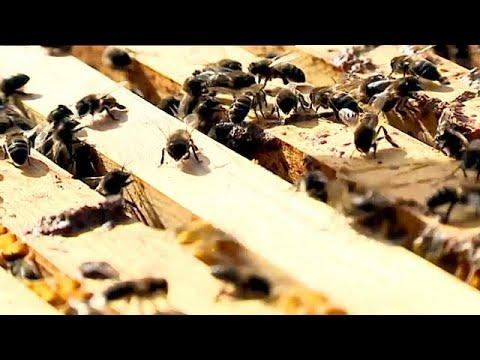 Abelhas alimentadas a açucar para combater a fome em Portugal