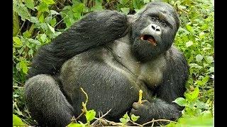 Горные гориллы КОНГО. АФРИКА, в поисках реальных приключений!