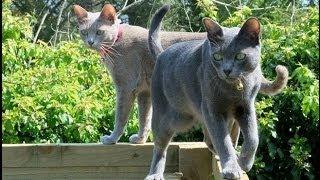 Animal Planet  :  Cats 101 ~ Korat
