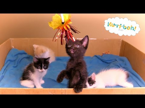 Learning to Play Part 2 ~ 4K Japanese Bobtail Kittens