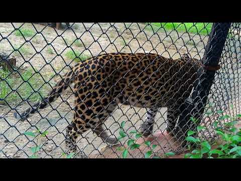 Cheetah In Warangal Zoo