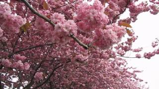 Cherry Blossoms (桜; 櫻; さくら) in Canada