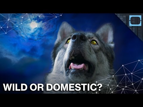 when-did-wild-wolves-become-pet-dogs?