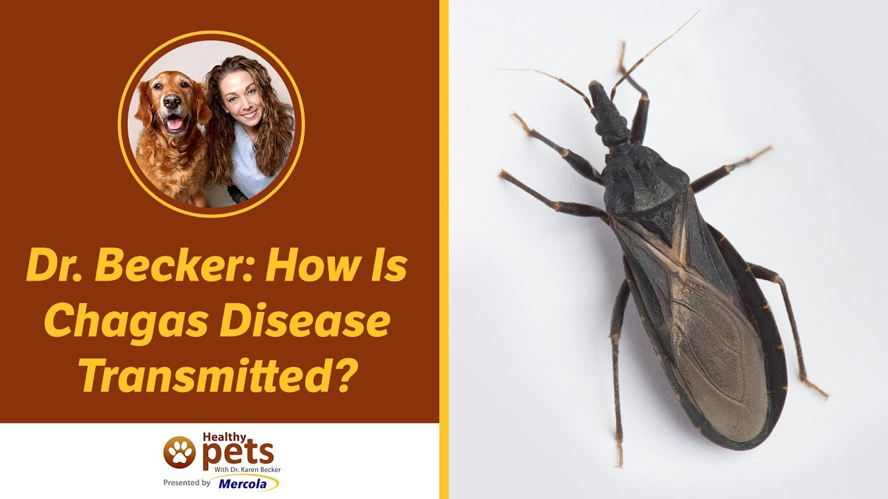 Chagas Disease Transmitted by Kissing Bugs