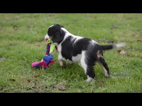 Cavalier King Charles Spaniel Puppy playing, Milbu Xondy - 12.weeks old