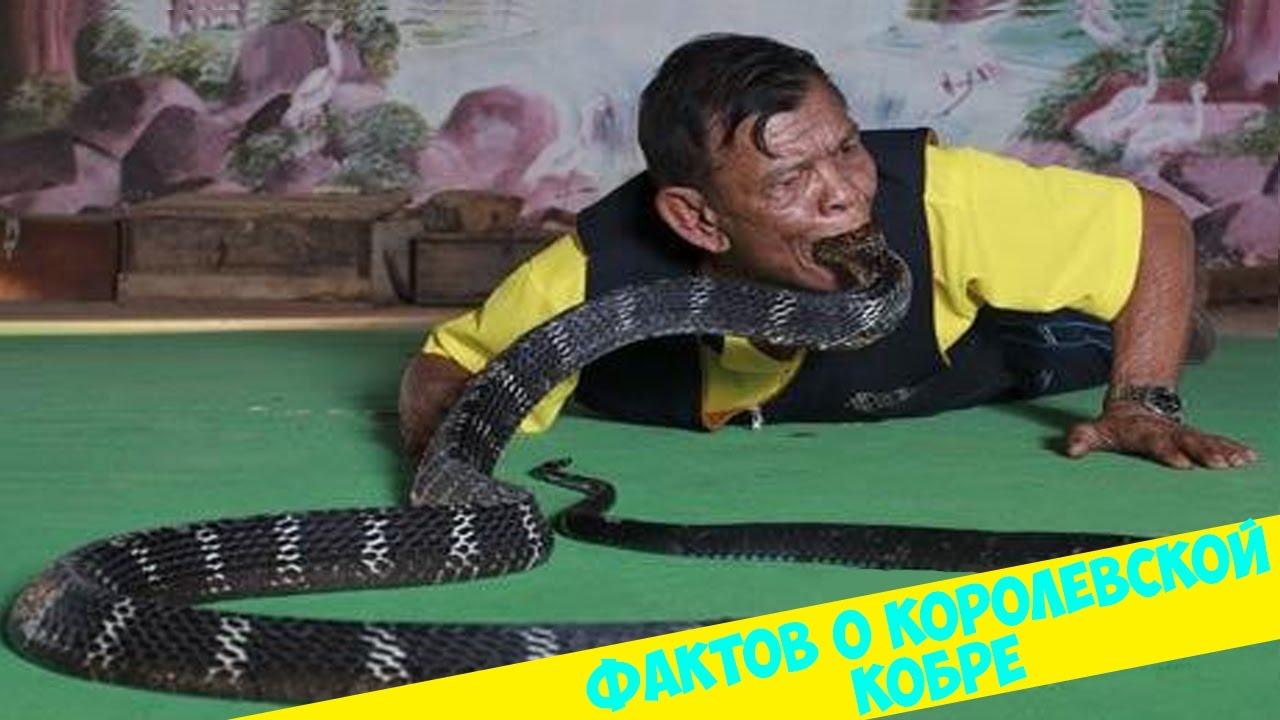 Змеиный яд. Дойка королевской кобры - YouTube