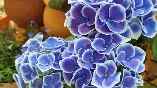 청수국이 너무 예쁜 5월 둘째 주 베란다 꽃풍경