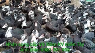 Vịt Xiêm Pháp 2 Tháng Gần Xuất Chuồng/ Chăn Nuôi Vịt Xiêm Pháp/ Kim Thanh Vlog