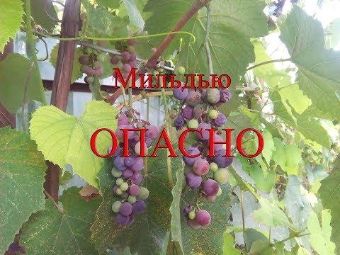 Как выглядит Милдью и Оидиум на винограднике.