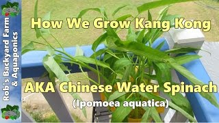 How We Grow Kang Kong/chinese Water Spinach.. (ipomoea Aquatica)