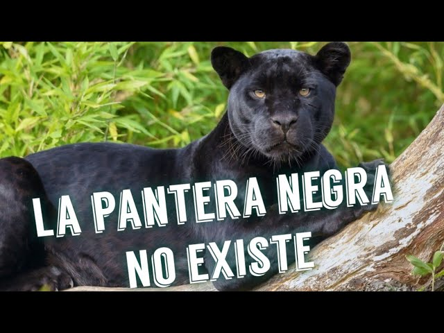 La pantera negra es en realidad un jaguar melanico
