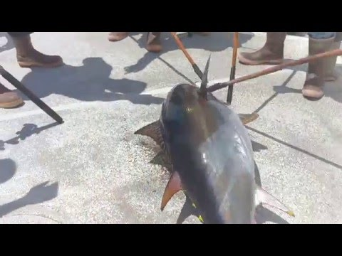 Big bluefin tuna caught on Legend Overnight H&M Landing San Diego CA