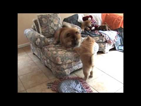 Cute Chow Chow puppy playing video