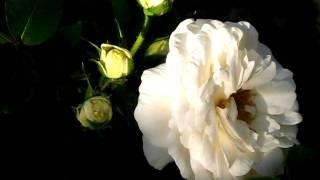 видео Канадские парковые розы: сорта с фото и описаниями, отзывы о сортах