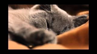 Binaural: Cat Purr ASMR 432hz + 528hz @ Theta/Gamma = Calm, Comfort, Healing